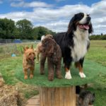 dog days adventure 12 150x150 - Doggy day care for dog socialisation in Addlestone, Surrey